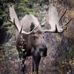 Bull moose (no     ) Denali NP, Ak