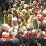 Cactus (no1), Ca