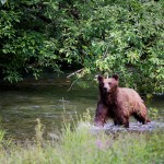 Brown bear ( sow w/ 2cubs, no     ) Hyder, Ak