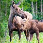 Moose cow & calf, Fairbanks, Ak