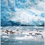 Seals, Columbia glacier, Ak